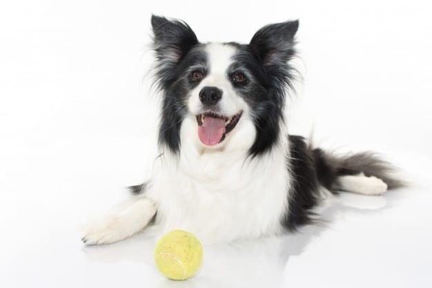 Border Collie A Raça De Cachorro Mais Inteligente E Divertida