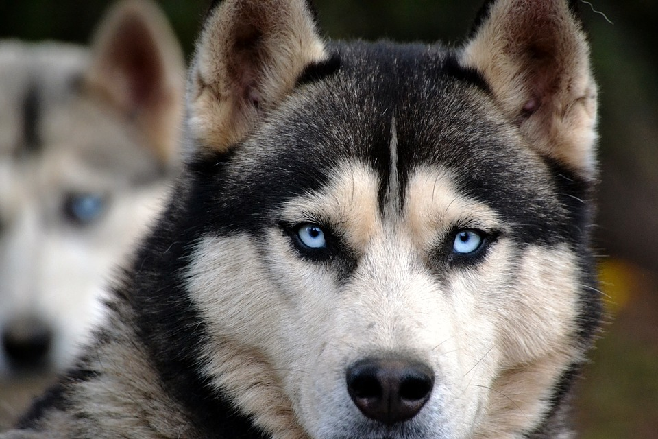 olhos do husky siberiano