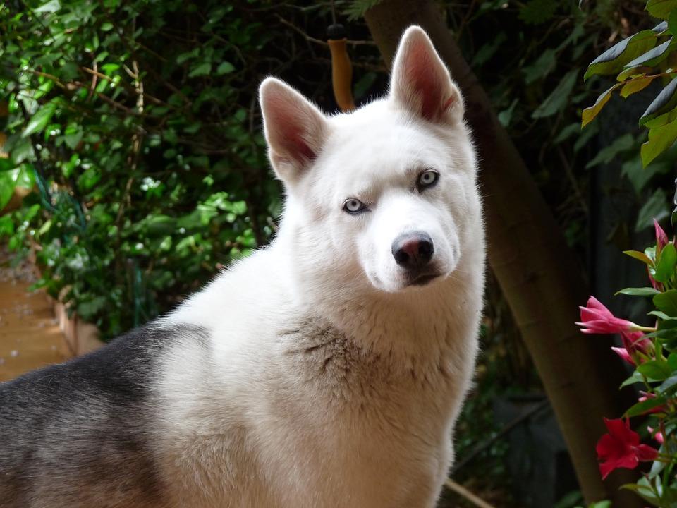 husky siberiano branco