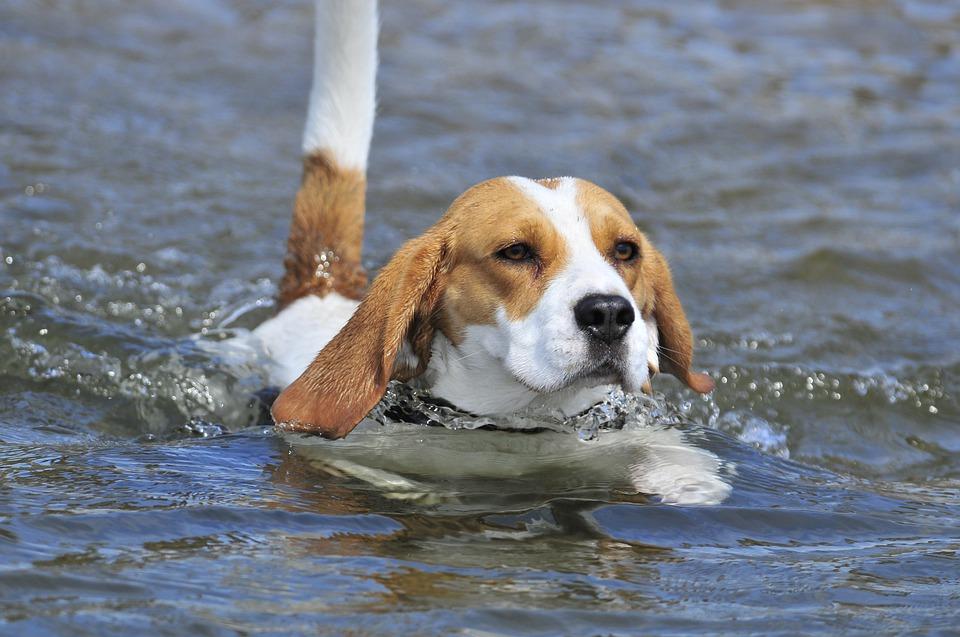 Beagle nadando