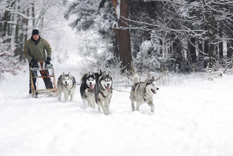 husky siberiano puxando trenó