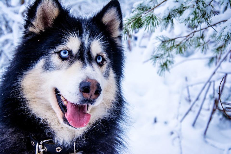 husky siberiano preto e branco