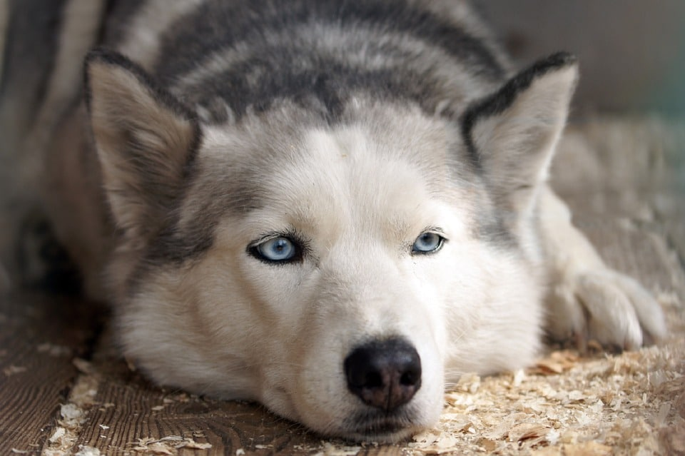husky siberiano descansando