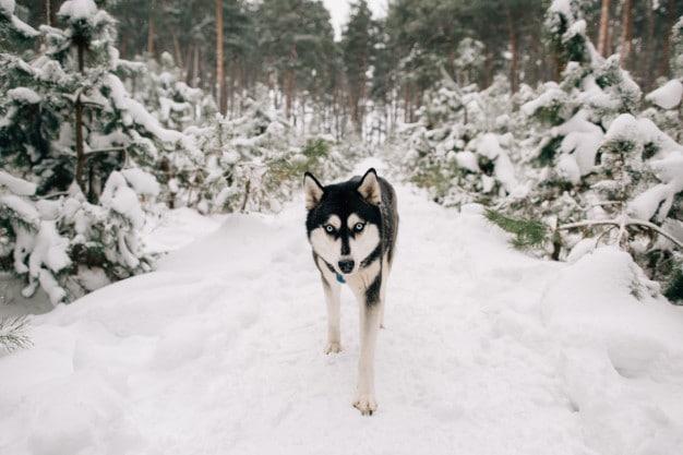 husky siberiano no frio