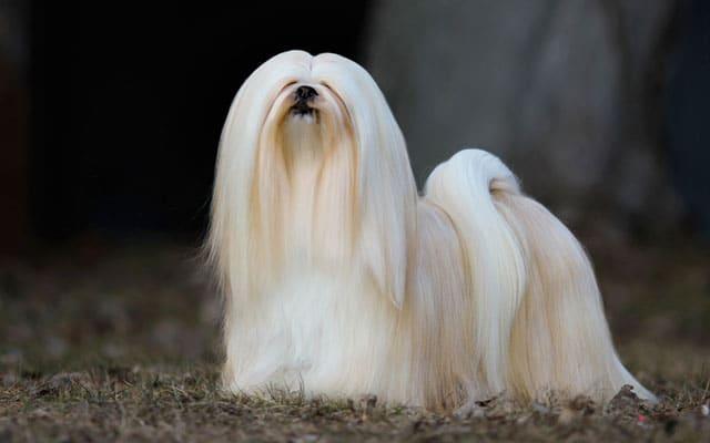 lhasa apso branco
