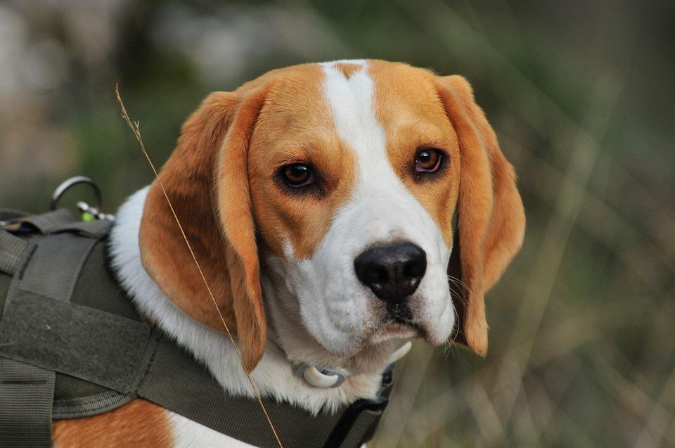 Beagle na coleira