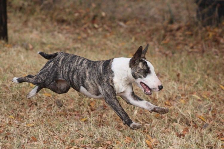 bull terrier correndo