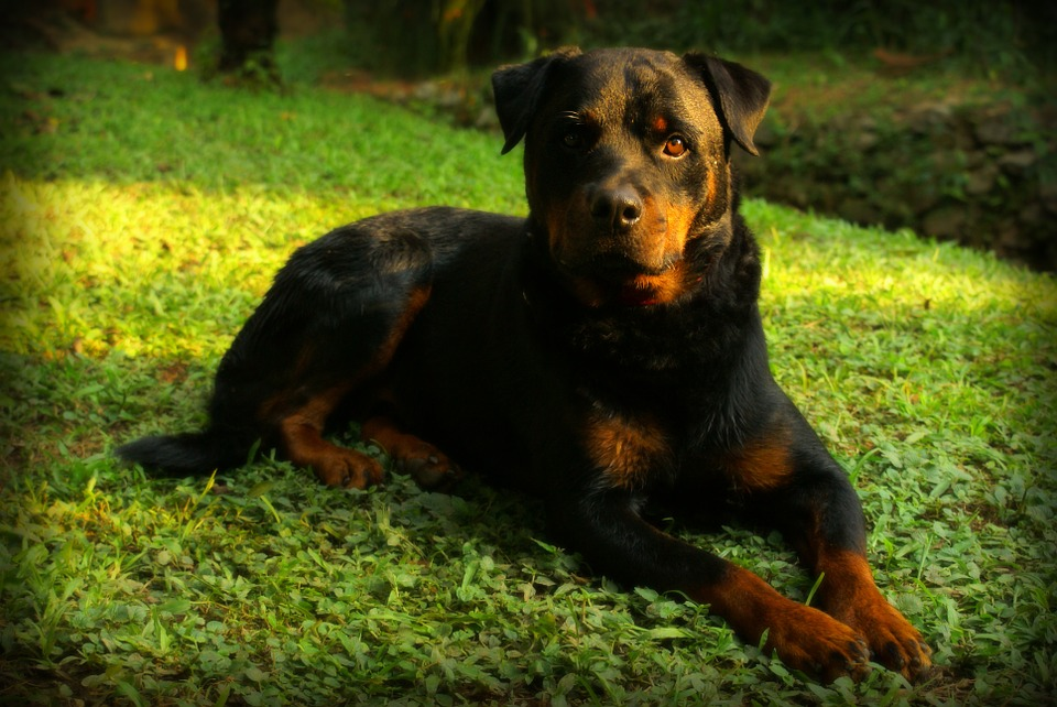 rottweiler fofo