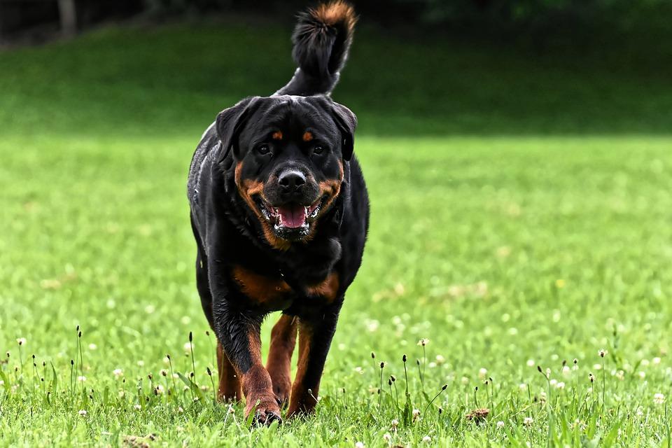 rottweiler ao ar livre