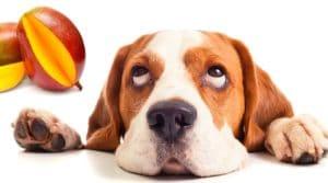 Cachorro pode comer manga