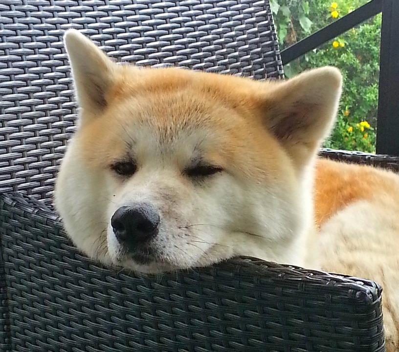 Akita descansando