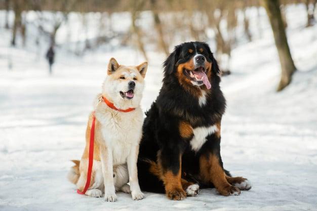 Akita e outro cachorro