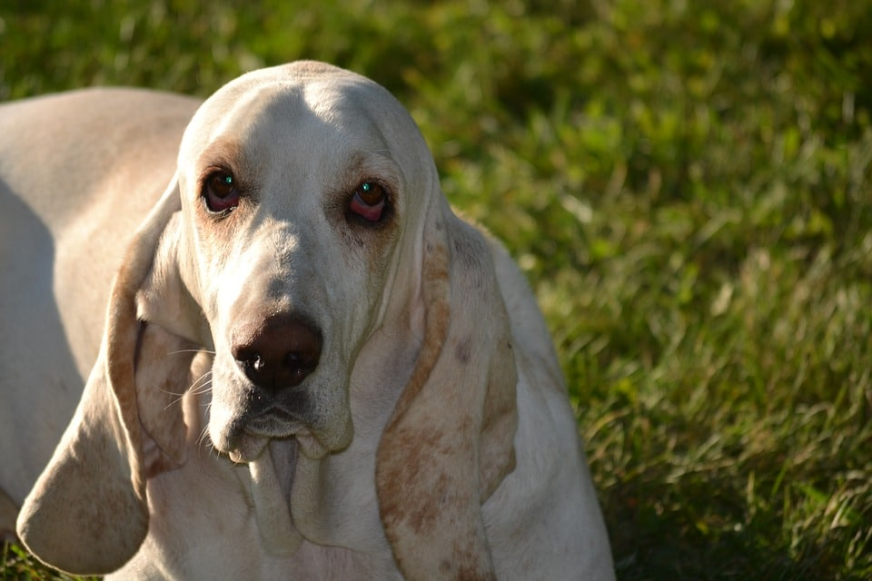 saúde do basset hound