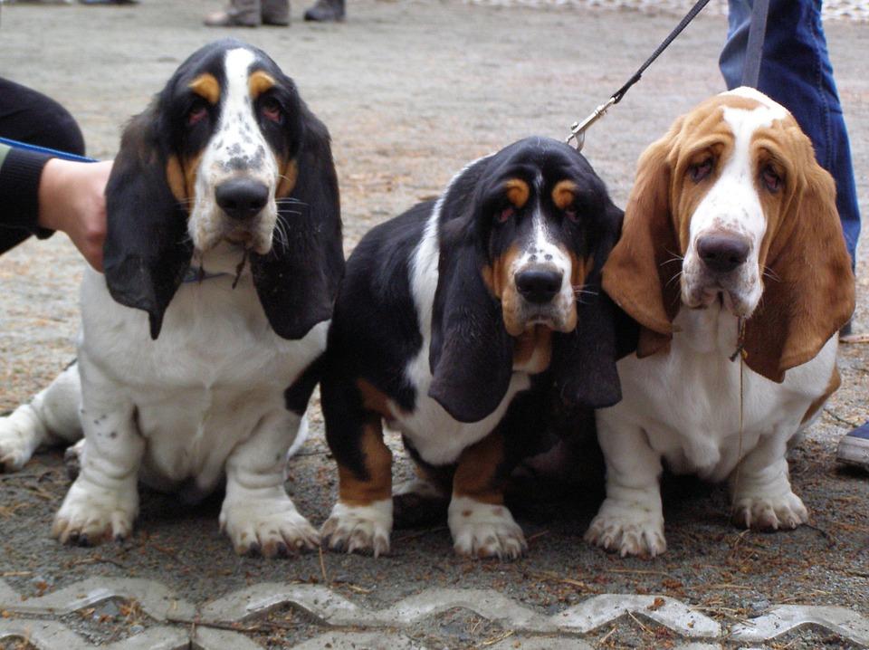 basset-hound raça