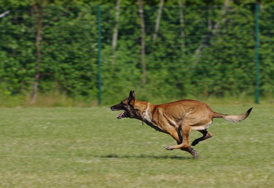 pastor belga correndo