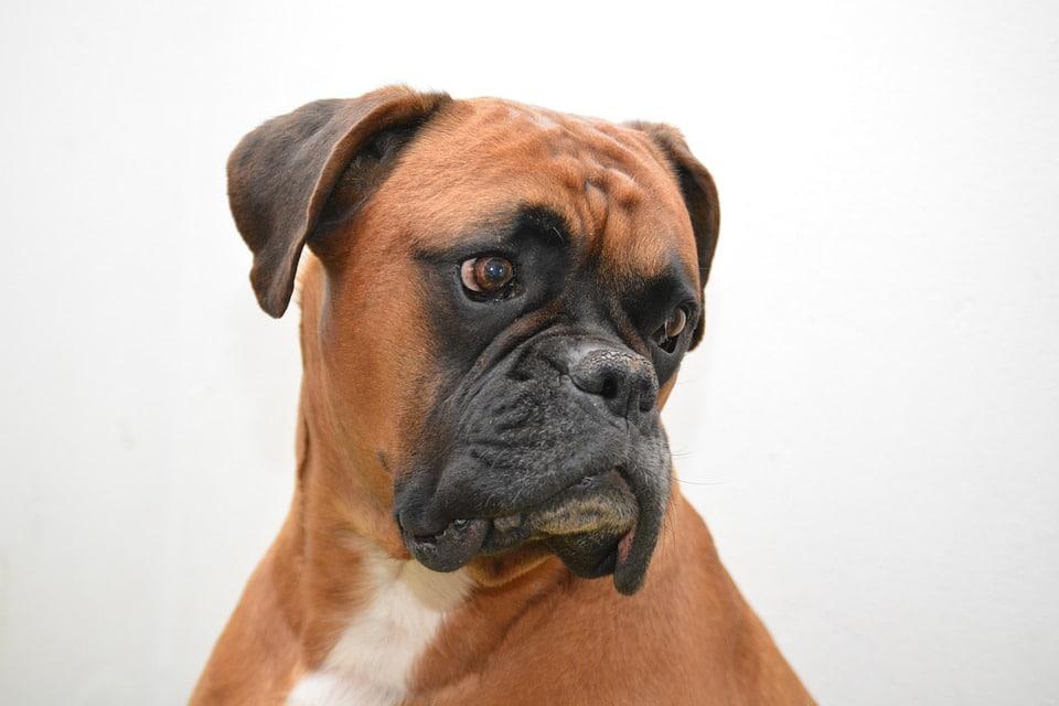 cão boxer características