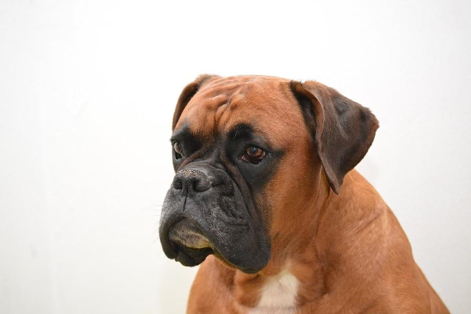 saúde do cão Boxer