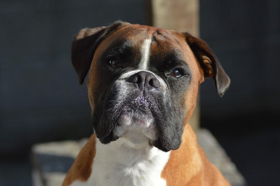 olhos do Boxer