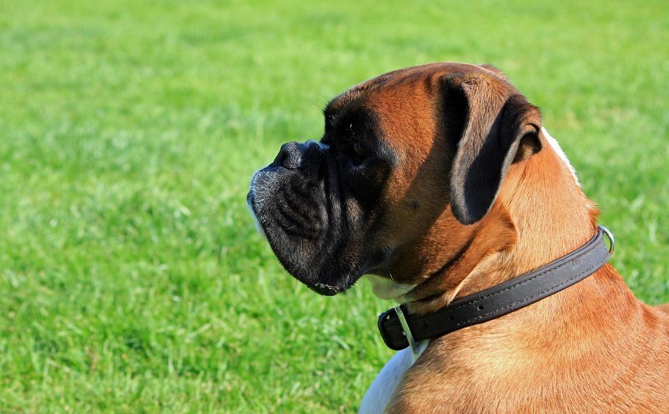 cuidados cão Boxer