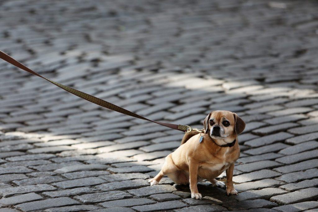 cachorro mancando pata dianteira