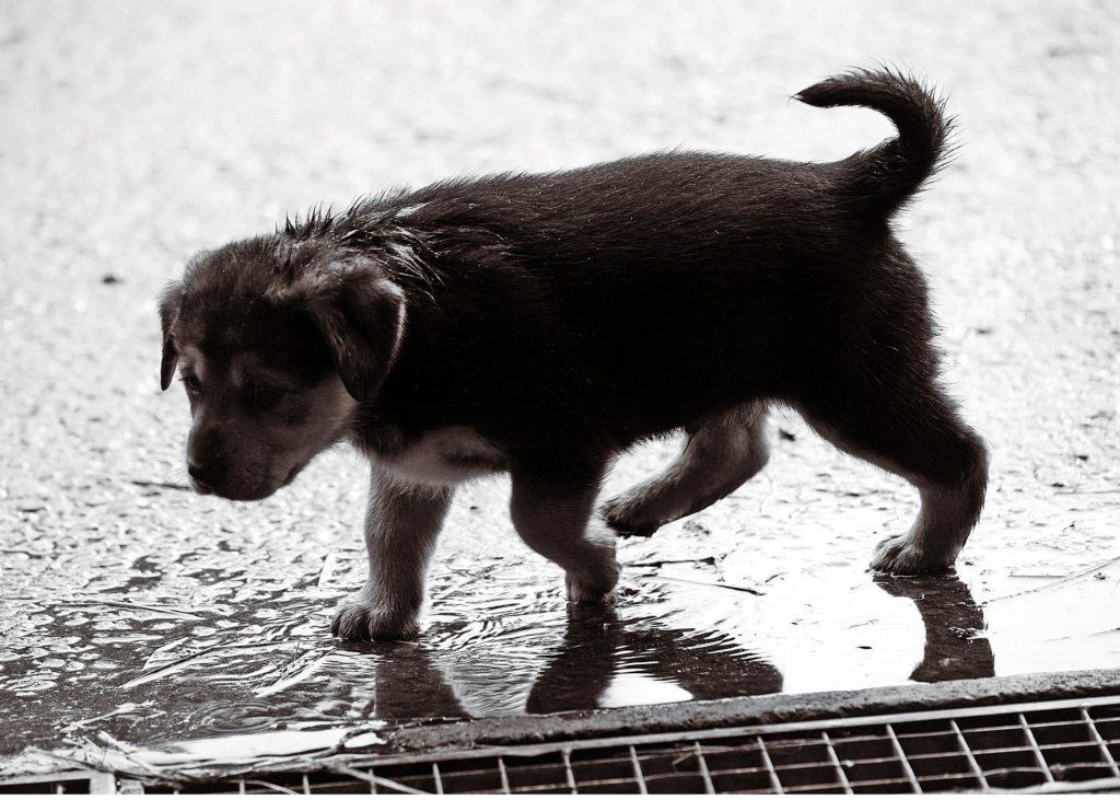 cachorro não gosta de chuva