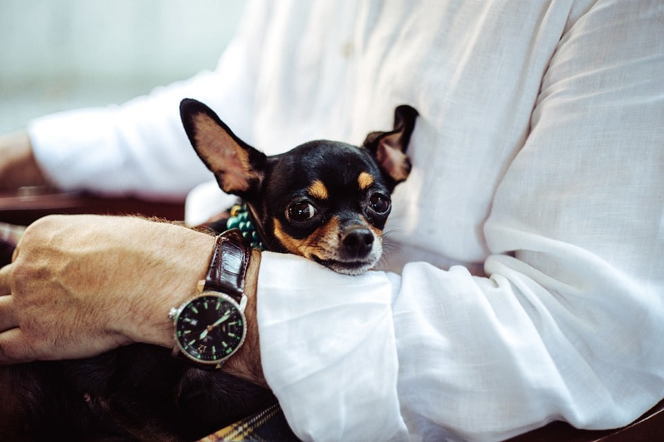 Chihuahua com crianças, estranhos e animais