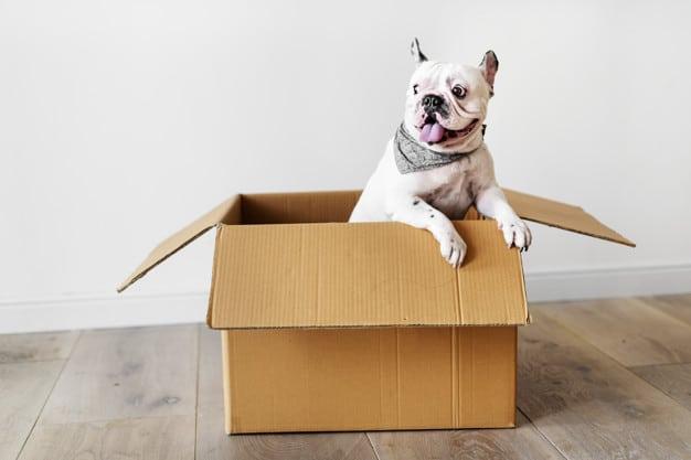 Buldogue francês na caixa