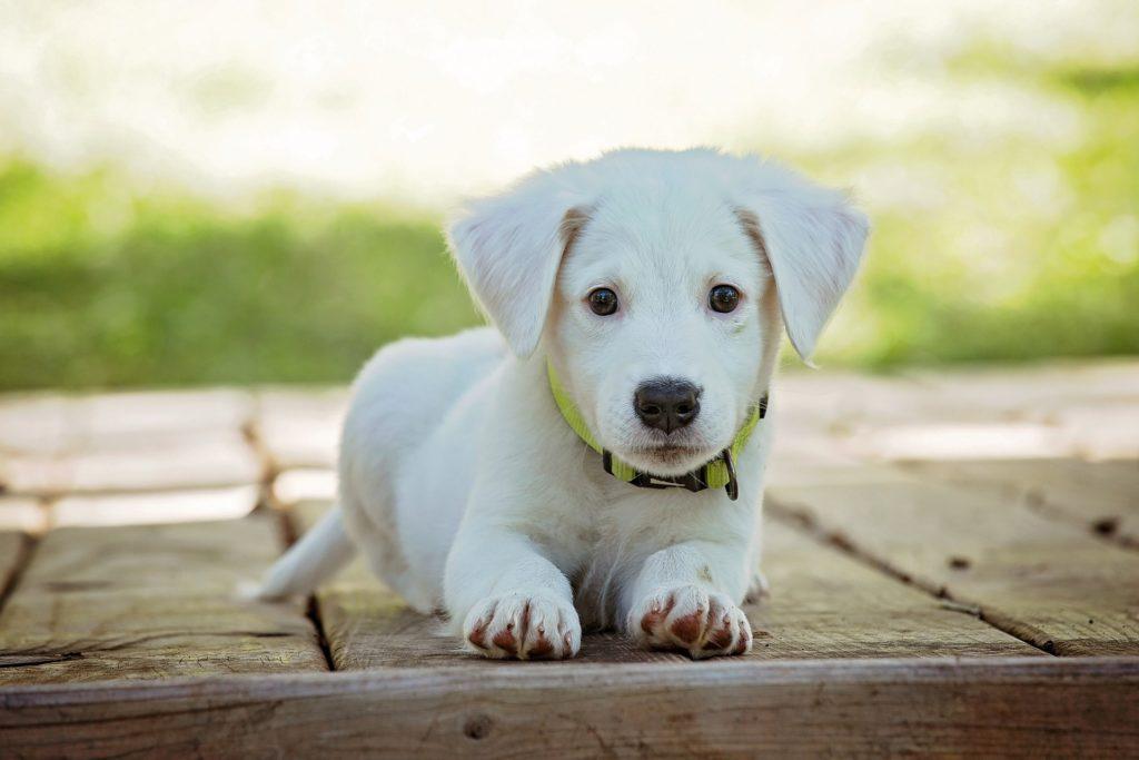 curiosidades sobre cachorros filhotes