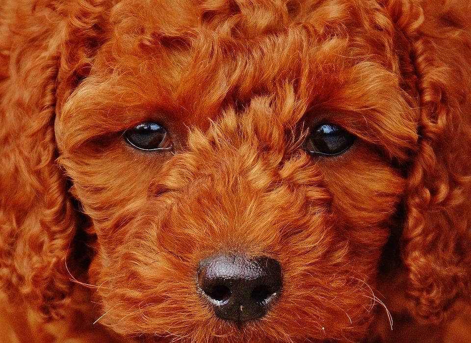 Poodle vermelho