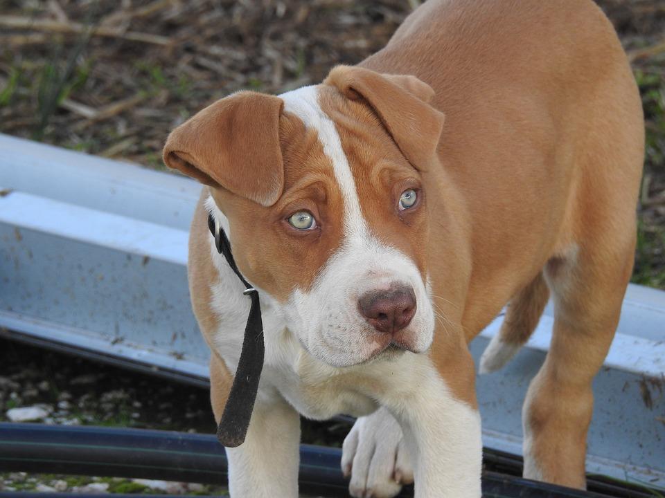 pitbull olho verde agua