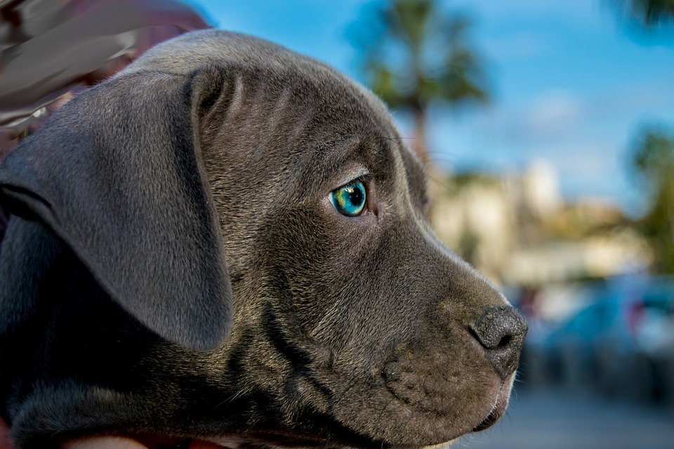 pitbull azul