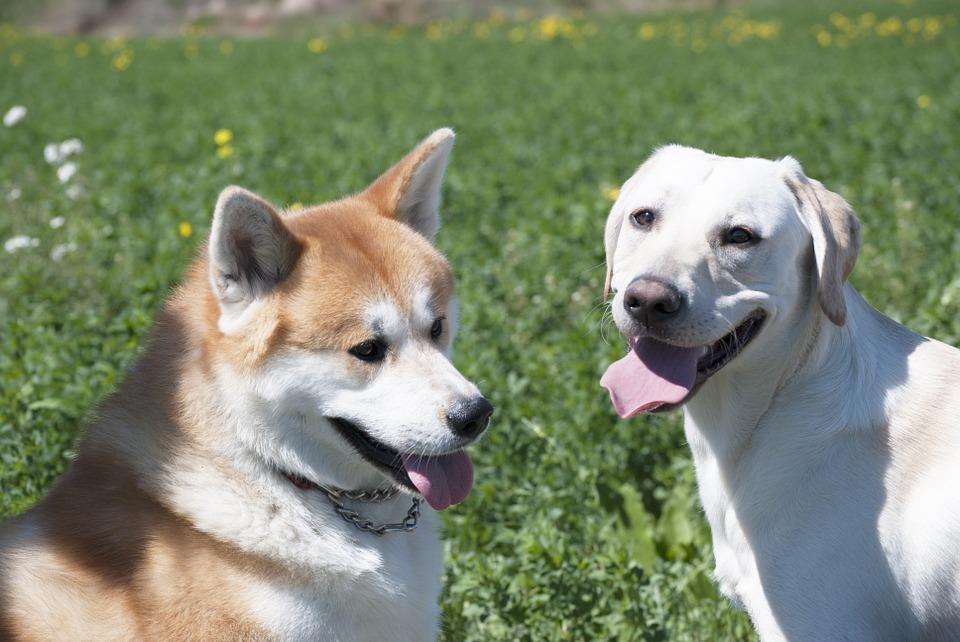 Akita e outros cachorros
