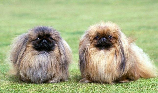 Pequinês e outros cães