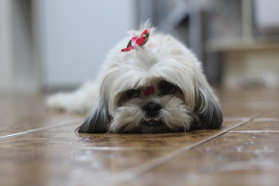 Shih tzu cansado