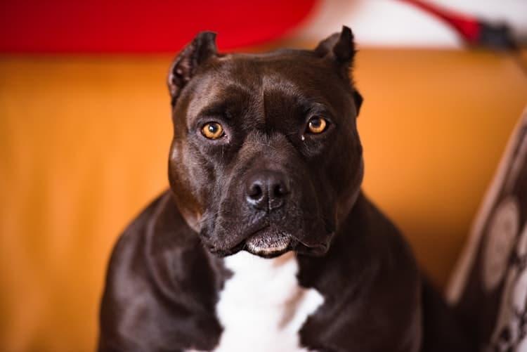 pitbull preto