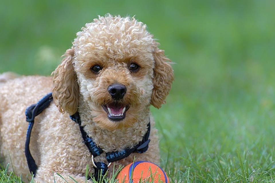 Poodle com bola