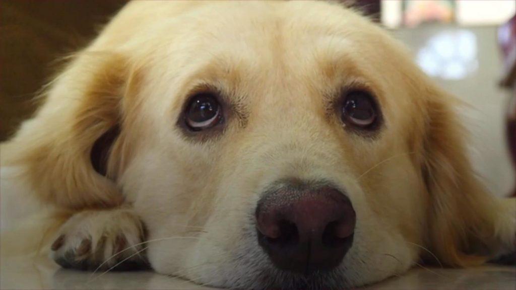 Caspa canina