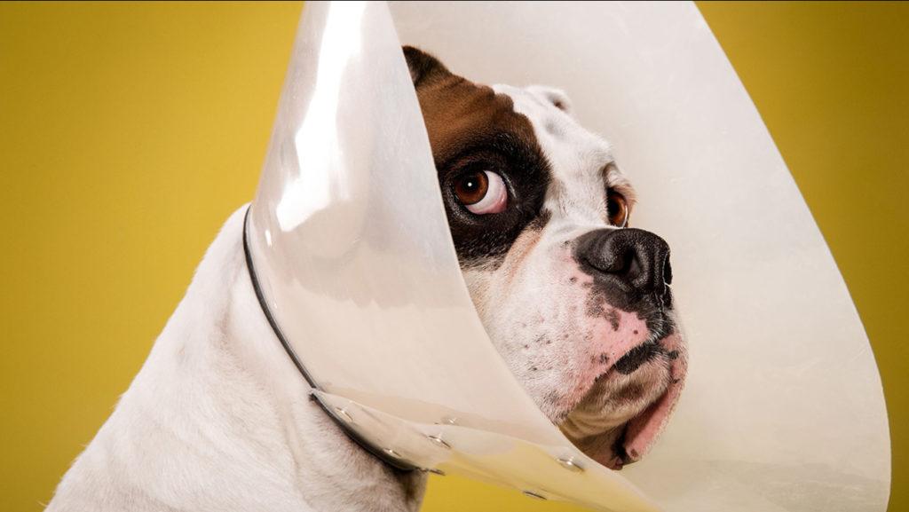 Cachorro com proteção para não lamber.