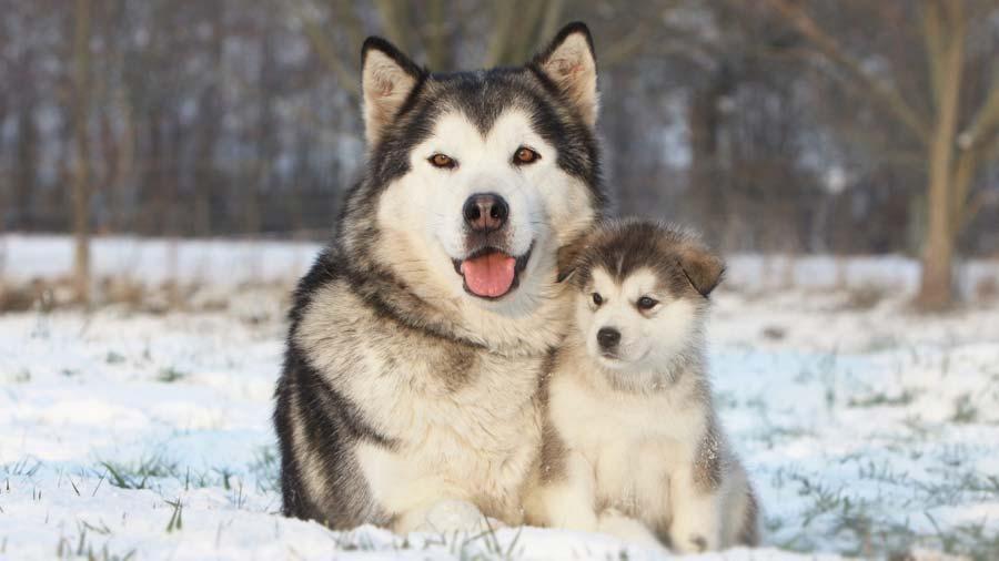 Filhote de malamute do alasca