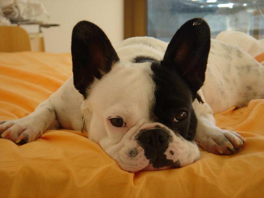 Bulldog preguiçoso.