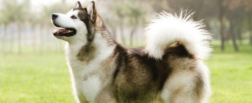fotos de cachorro uivando