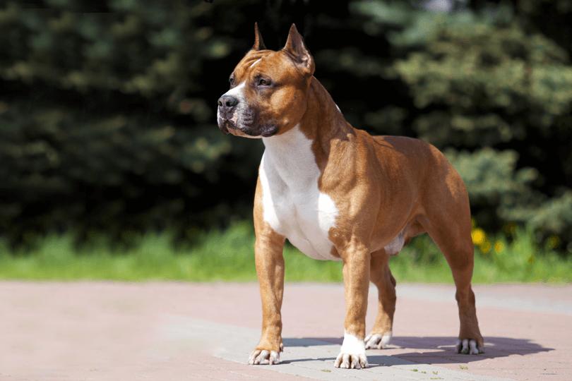 3 - O American Staffordshire é um cão destruidor?