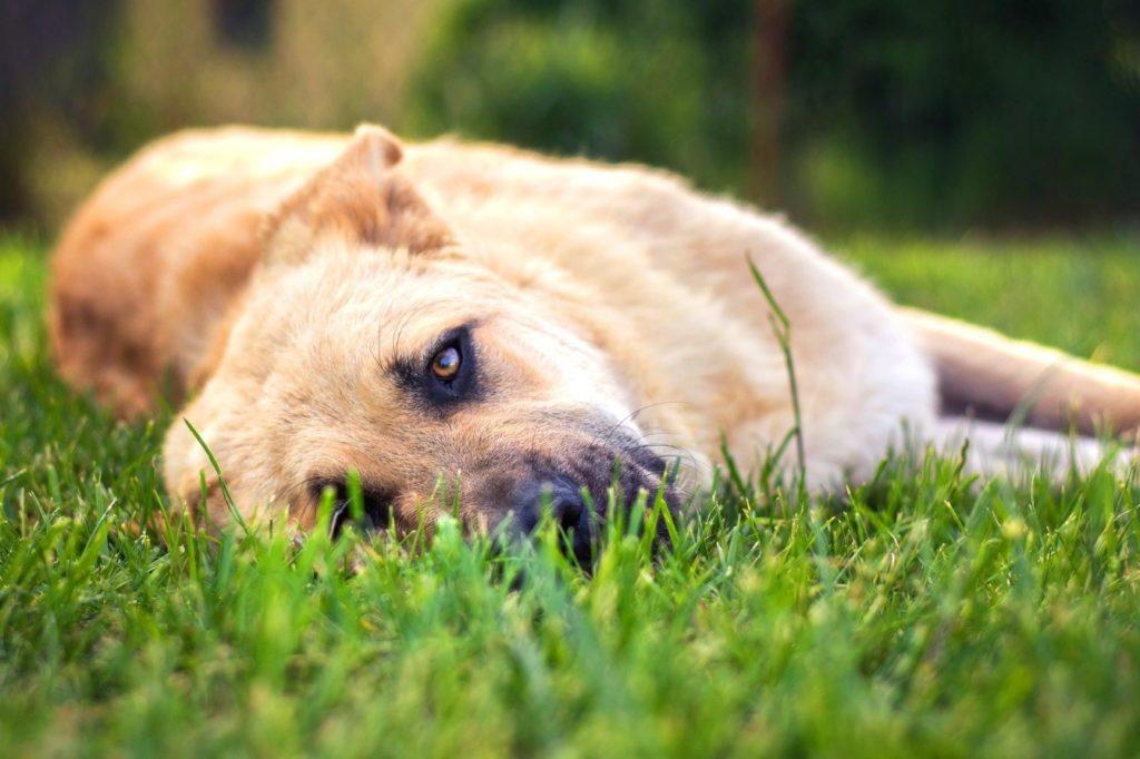 cachorro com hematúria