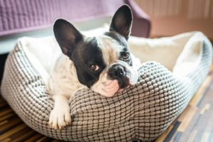 gravidez psicológica em cadelas