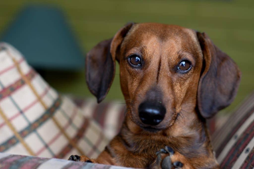 castração de cadelas