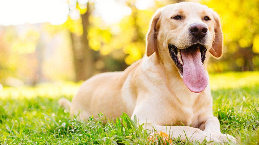 Tratamento de caspa em cães.