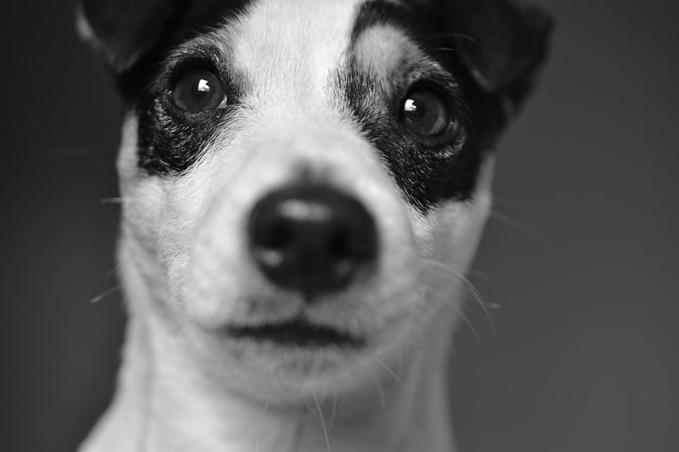 Cachorro Jack Russell Terrier
