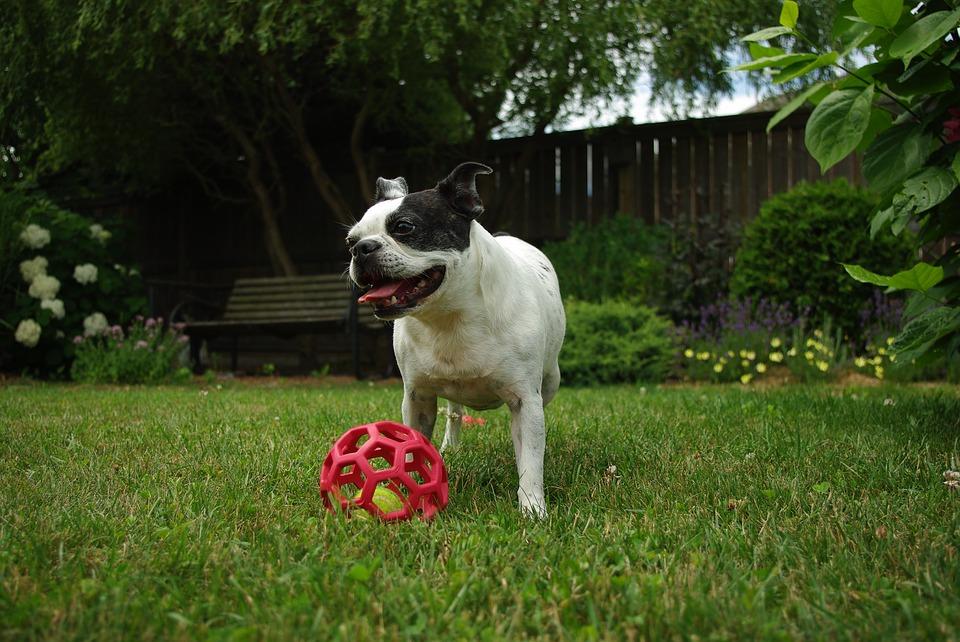 exercício do Boston Terrier
