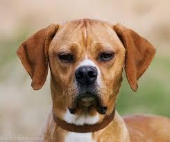 cachorro português