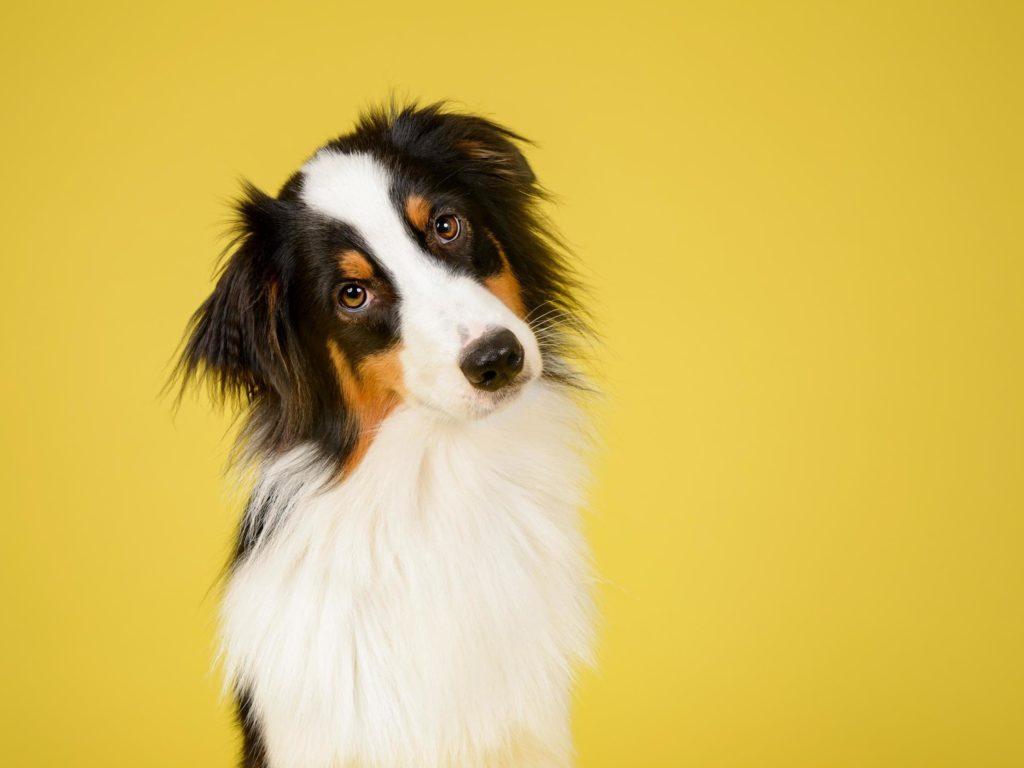 Prevenção e tratamento de caspa em cachorro.